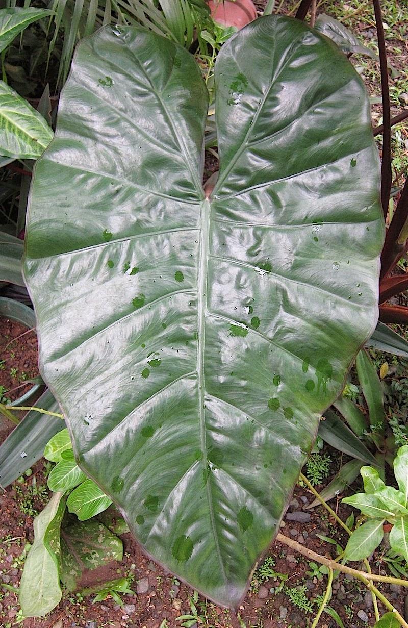 Colocasia leaf