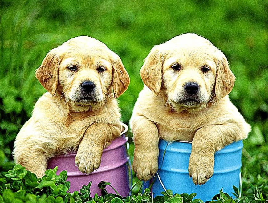 yellow lab puppy wallpaper - photo #7