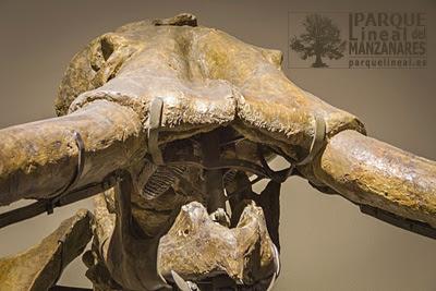 Elefante de Transfesa, descubierto en VillaVerde en 1958.