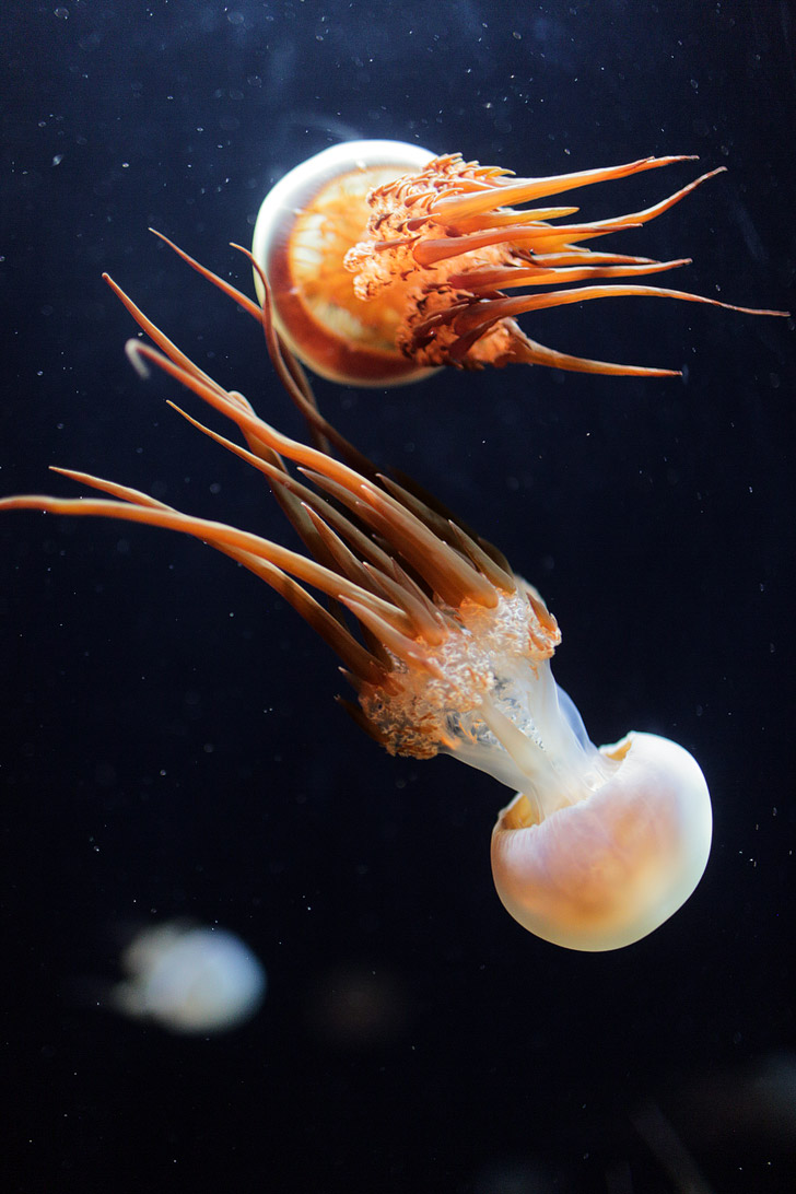 Flame Jellyfish Photos (Rhopilema Esculentum) .