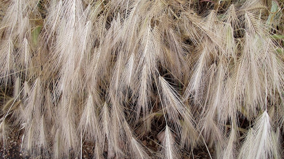 Campo de hiervas espigas