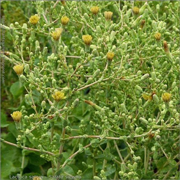 Lactuca sativa buds flower - Sałata siewna pąki kwiatowe