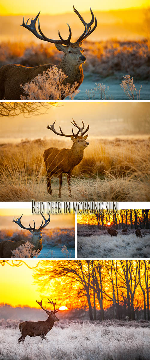 Stock Photo: Red deer in morning sun