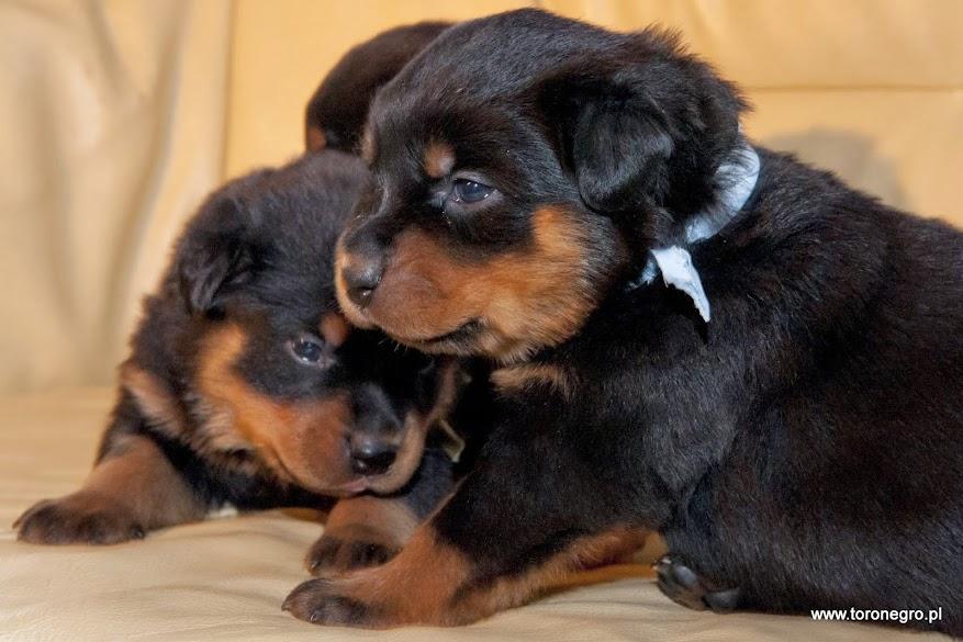 Ładny szczeniaczek rottweiler z hodowli toro negro