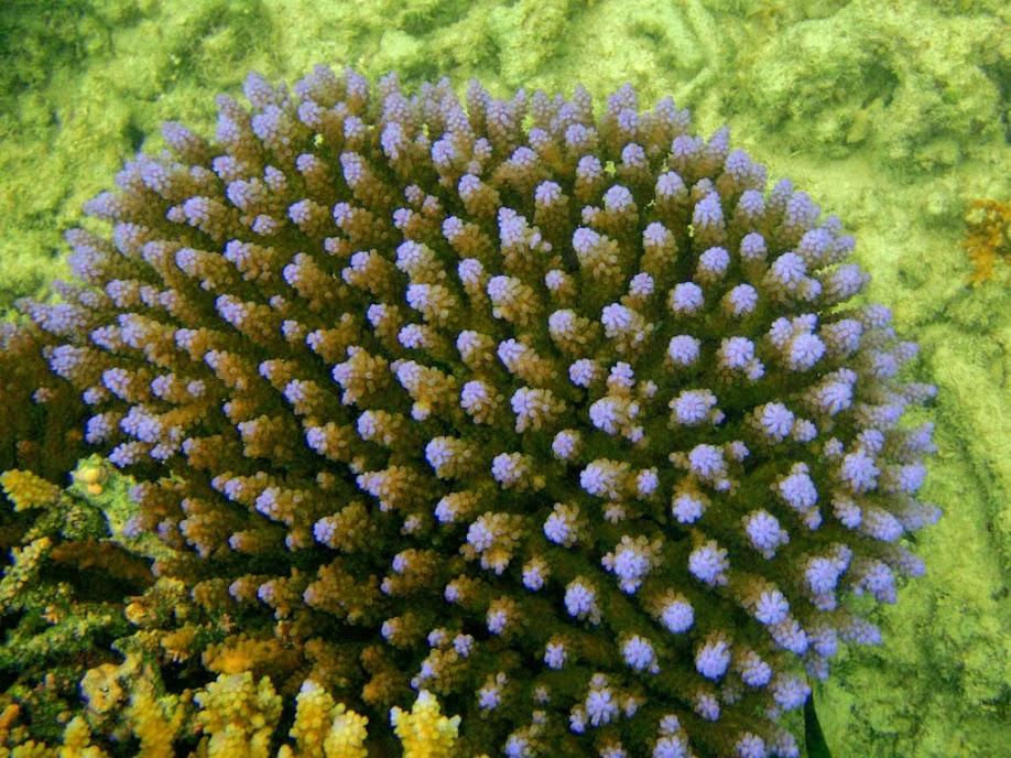 Acropora sp. Coral, Naigani Island, Fiji.