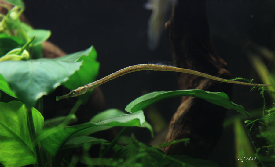 microphis deocata - threatened. D4