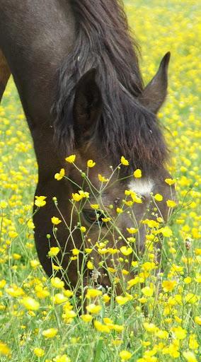 """THEME D 'AOUT 2012 ...""""des chevaux et des fleurs """" - Page 3 Adonis%2520bouton%2520d%2520or"""