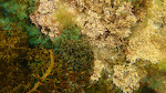 Potpourri of algae in Jawbone Foreground Cystophora moniliformis behind Dictyota dichotoma; Zonaria turneriana; Corallina officionalis