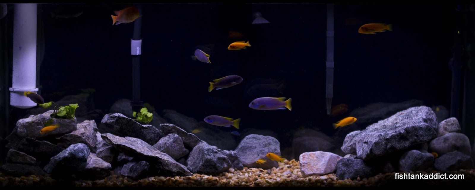 African cichlid tank fish tank addict for Cichlid fish tank