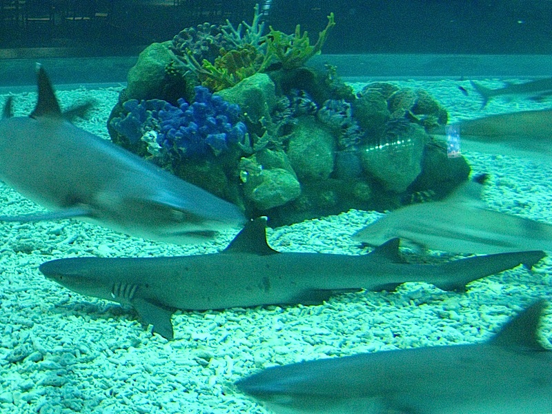 sharks at the Manila Ocean Park