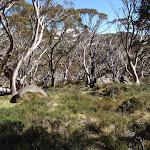snowgum forest (87886)