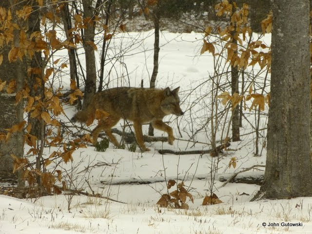 Backyard Coyote. First time we've seen one in the backyard.