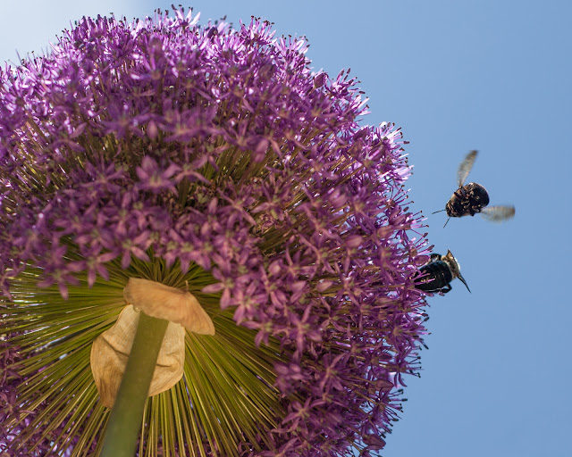Onion flower and bees from below