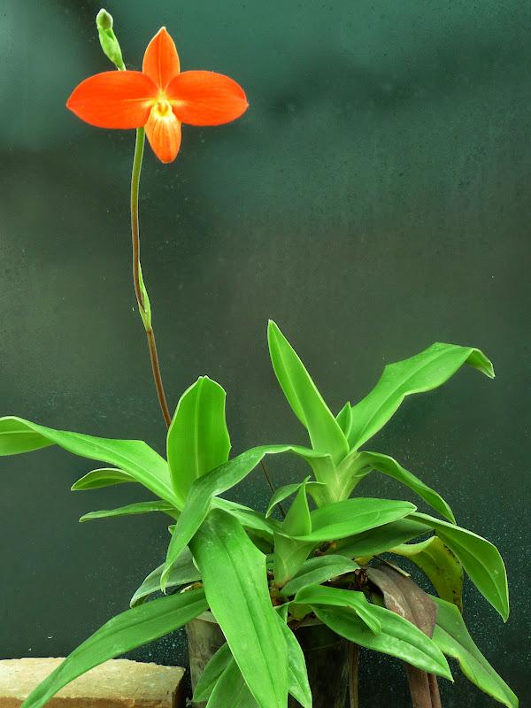 Phragmipedium besseae Besseae4