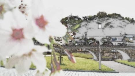 高麗橋に咲いた桜