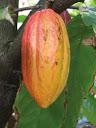 اشجار الكاكاو