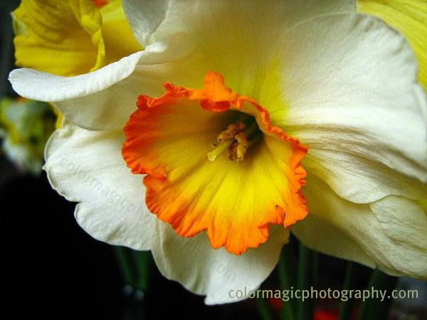 White daffodil-macro photo