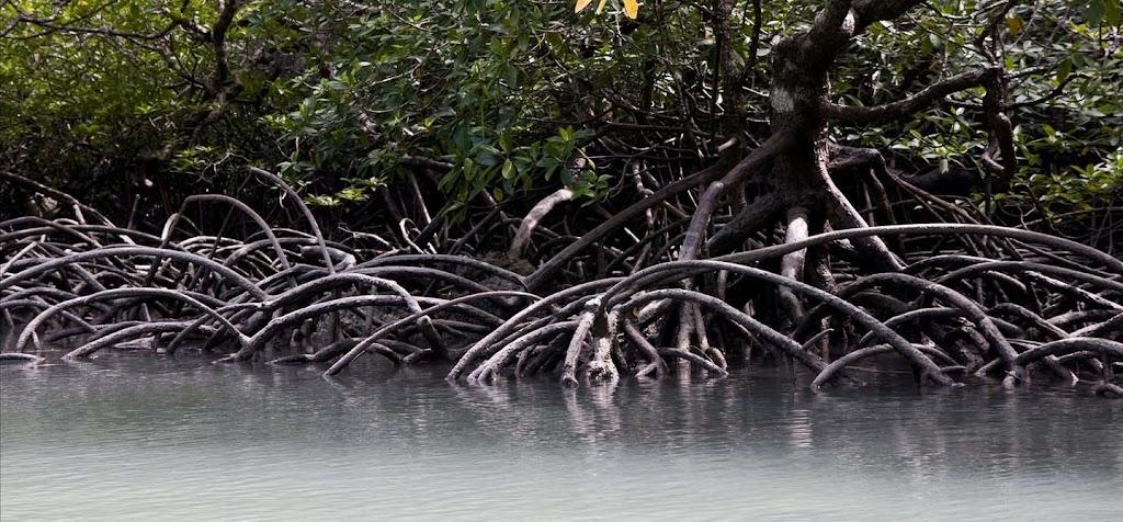 Hutan mangrove yang terdapat di Kec. Batu Ampar, Kec. Teluk Pakedai dan Kec. Kubu merupakan hamparan alam yang mempesona.