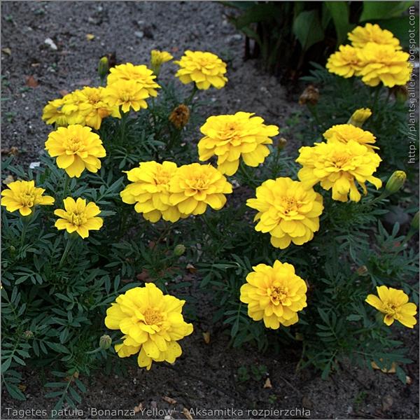 Tagetes patula 'Bonanza Yellow' habit- Aksamitka rozpierzchła 'Bonanza Yellow'