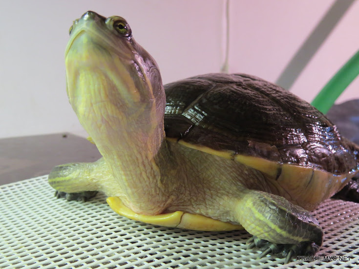 photos de mes tortues (trachemys, pseudemys, chrysemys, etc) - Page 3 IMG_2192