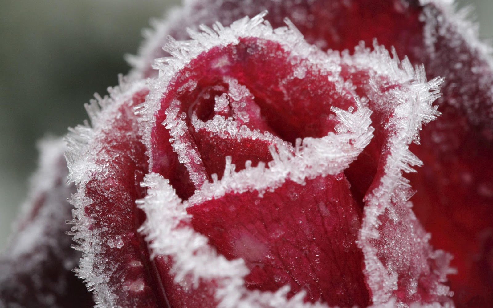 Rozen desktop achtergronden hd wallpapers - Rose in snow wallpaper ...