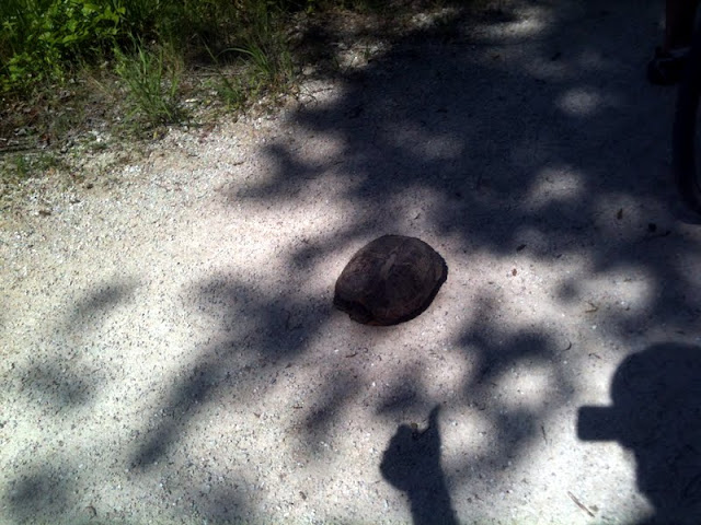 Turtle on the Katy Trail