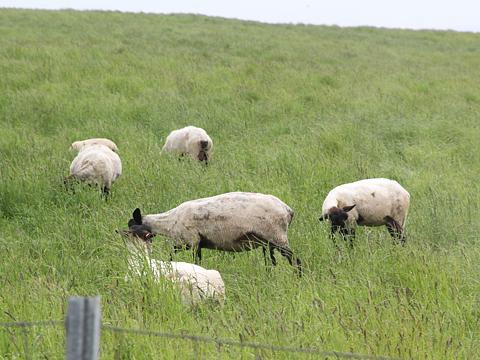 焼尻島の風景 その4 めん羊放し飼い