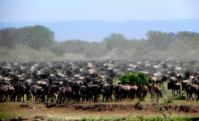 أفضل ما في أفريقيا  Best of Africa Herd%252520massing%252520on%252520shore