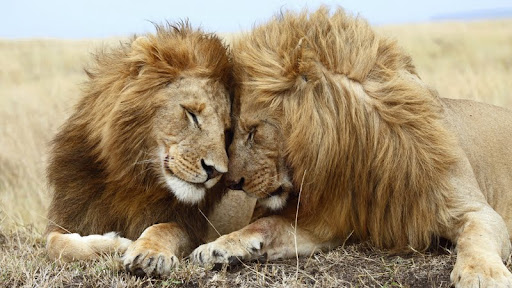 Affectionate Lions, Masai Mara National Reserve, Kenya.jpg