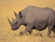 قرون وحيد القرن أغلى من الذهب