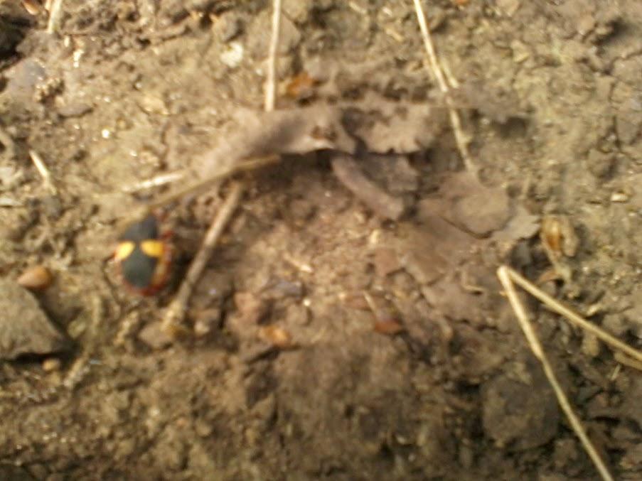 Identificacion de escarabajo EscarabajoRojo+%281%29