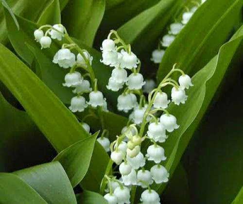 Lily Of The Valley Magick