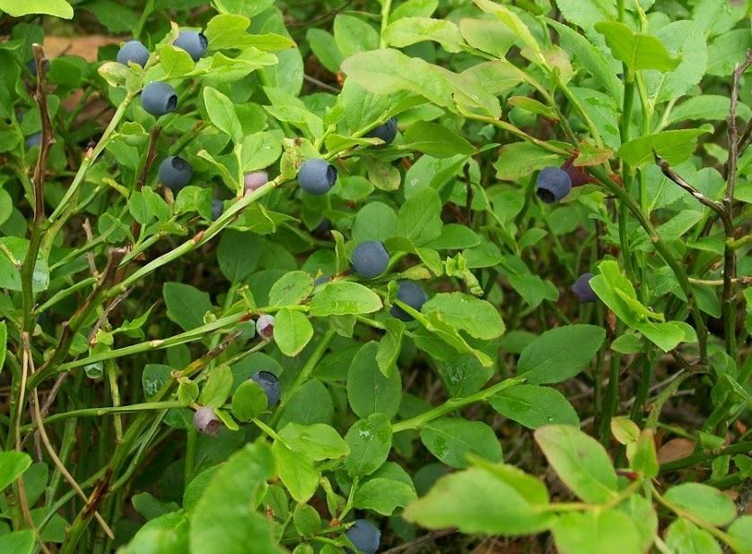 czarne jagody borówki
