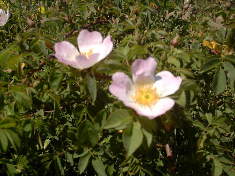Quelques fleurs Eglantines01