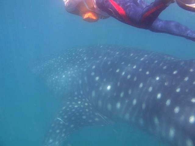 達人帶路-環遊世界-鯨鯊浮潛