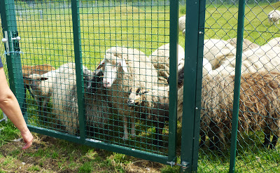 Schafe auf Gut Streiflach, vor einem Zaun stehend.