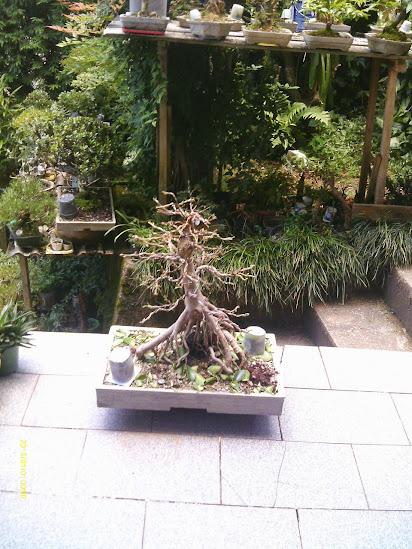 Ficus Microcarpa var. Indica... - Página 2 IMAG0294