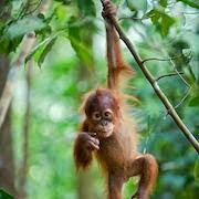Приснилась обезьяна