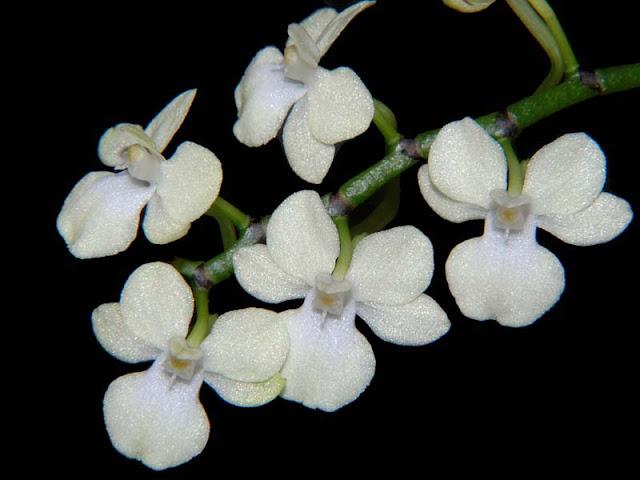 Растения из Тюмени. Краткий обзор Aerangis_citrata3