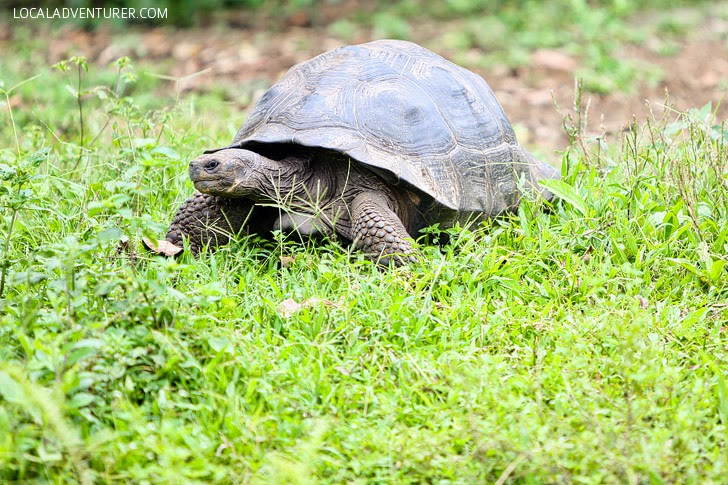 Giant Galapagos Tortoise Ecuador.