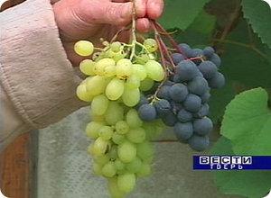 В центре Твери поспел урожай винограда