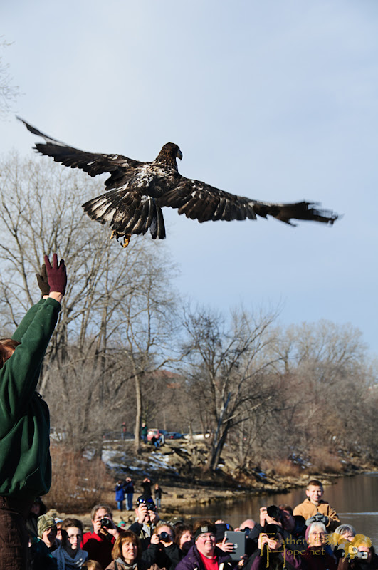 Marge Gibson of Raptor Education Group releases 1 of 4 rehabilitated bald eagles back into the wild at Sauk Prairie's 2013 Bald Eagle Watching Days.