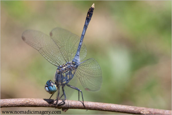 blue percher dragonflies macro photo