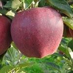 Camspur яблоня
