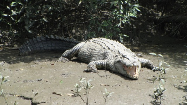 Meet Crocodiles at Proserpine River in Whitsundays
