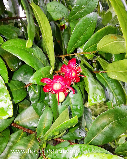 Ochna kirkii bush