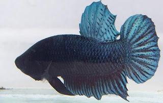 cupang adu medan super Cara  Memilih Ikan Cupang Adu