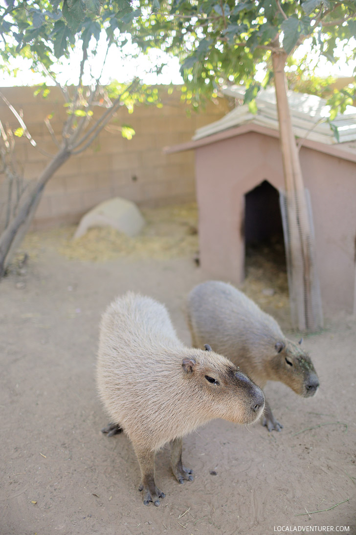 Capybara Pictures from Roos-n-More Zoo in Moapa.