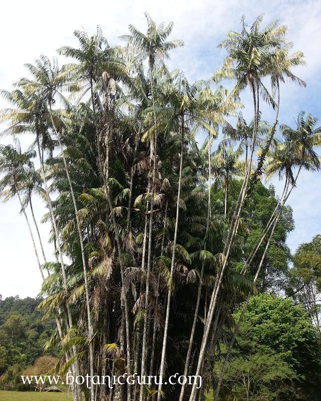 Oncosperma tigillarium, Nibong Palm tree
