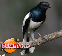 Jenis Burung Kacer Poci atau Sumatera